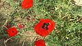 Papaver rhoeas in Israel - 03.jpg