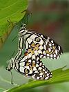 Papilio demoleus ALT by kadavoor.jpg