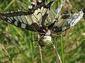 Papilio machaon (Old World Swallowtail) caught in the web of a Argiope bruennichi (Wasp Spider), Arnhem, the Netherlands.jpg
