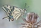 Papilio machaon - Swallowtail 1.jpg