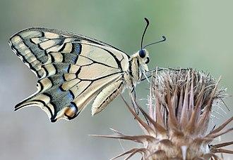 Papilio machaon - Underside