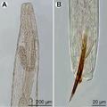 Parasite140132-fig3 Philometra protonibeae (Nematoda, Philometridae).png