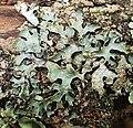 Parmelia sulcata 155887249.jpg