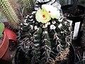 Parodia (Wiginsia) sellowii.jpg