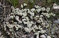 Paronychia cephalotes 1.jpg