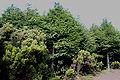Parque Florestal da Mata da Serreta, Floresta de Cedros, ilha Terceira, Açores, Portugal1.JPG