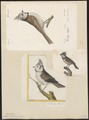 Parus cristatus - 1700-1880 - Print - Iconographia Zoologica - Special Collections University of Amsterdam - UBA01 IZ16100151.tif