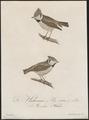 Parus cristatus - 1800-1812 - Print - Iconographia Zoologica - Special Collections University of Amsterdam - UBA01 IZ16100149.tif