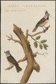 Parus cristatus - 1829 - Print - Iconographia Zoologica - Special Collections University of Amsterdam - UBA01 IZ16100153.tif
