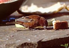 A small mainly chestnut coloured sparrow with a broad beak feeding on scraps of food placed on a stone slab