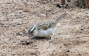 Iago sparrow - A female foraging, on Sal