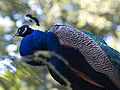 Pavo cristatus side view.jpg