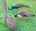Peacocks (3105718417).jpg