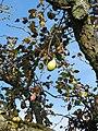 Pear tree - panoramio (2).jpg