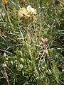 Pedicularis tuberosa 01.JPG