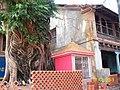 Peepal Tree near Koti Teerth at Gokarna - panoramio.jpg