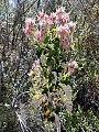 Pelargonium cordifolium00.jpg