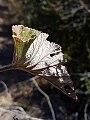 Pelargonium cordifolium03.jpg