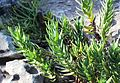 Peninsula Rambling Aloe in Sandstone Fynbos - CT.jpg