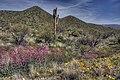 Penstemon parryi in the Sonoran Desert.jpg