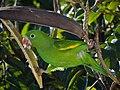 Periquito-verde - Brotogeris tirica.jpg