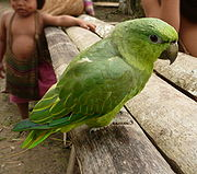 A green parrot with a light-green underside and head
