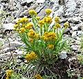 Petradoria pumila ssp pumila 1.jpg
