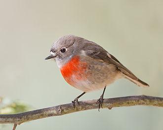 Scarlet robin - Image: Petroica boodang female Knocklofty