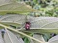 Peucetia viridana 31.jpg