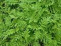 Phacelia tanacetifolia 2017-06-06 2776.jpg
