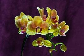 Phalaenopsis Cultivar Yellow 01.jpg