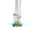 Phalanges of left foot01 anterior view.png
