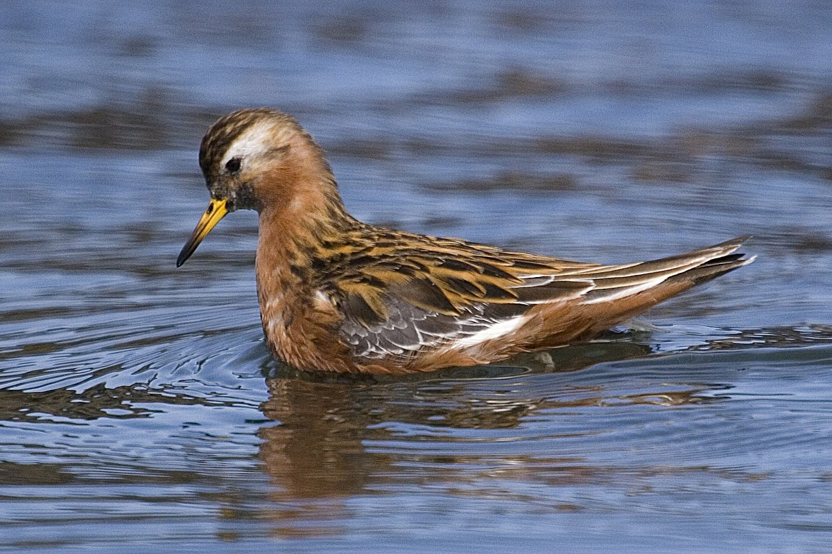 Red phalarope - Wikipedia