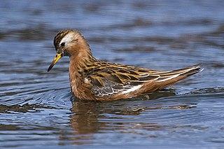 Red phalarope Species of bird