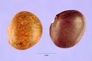 Phaseolus maculatus - Image: Phaseolusmaculatus
