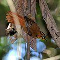 Philydor atricapillus-Black-capped Foliage-gleaner.jpg