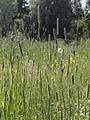 Phleum pratense Oulu, Finland 29.06.2013.jpg