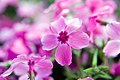 Phlox subulata Red Wing 2zz.jpg