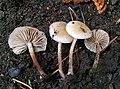 Pholiota scamba (Fr.) M.M. Moser 564780.jpg