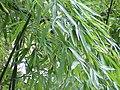 Phyllostachys aurea0.jpg