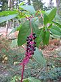 Phytolacca americana — forêt de Fontainebleau.jpg