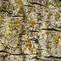 Piccolia nannaria - Flickr - pellaea.jpg
