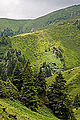 Picea abies, Vama Buzaului, Brasov, Romania.jpg