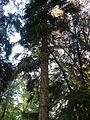 Picea orientalis 14.JPG