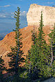 Picea pungens Bryce Canyon NP 2.jpg