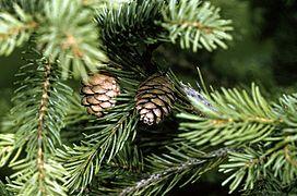 Picea rubens cone.jpg