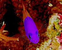 Pictichromis paccagnellae.jpg