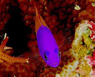 <i>Pictichromis paccagnellae</i> Species of fish