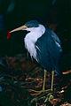 Pied Heron (Egretta picata) (9743695878).jpg