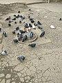 Pigeons in Lysychansk (Feb 2018).jpg